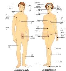 Statistiques sur le corps humain