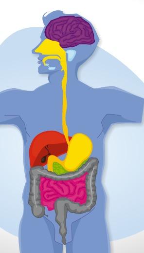 La folle aventure d'une entrecôte-frites à travers votre corps