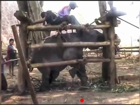 Le martyre des éléphants en Thaïlande
