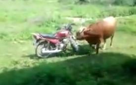 La taureau et la moto rouge
