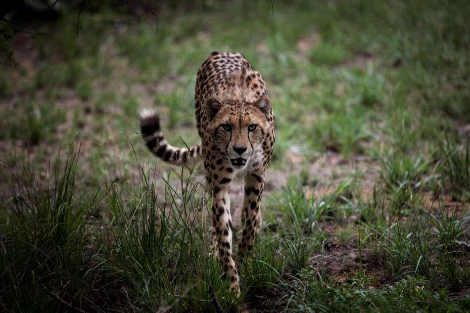 Il ne reste plus que 7 000 guépards dans le monde. JOHN WESSELS / AFP