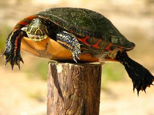 La tortue piquet
