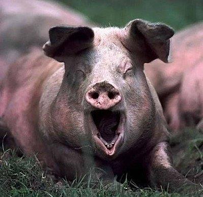Les cochons grognent. Les manifestants manifestent leur mécontentement.