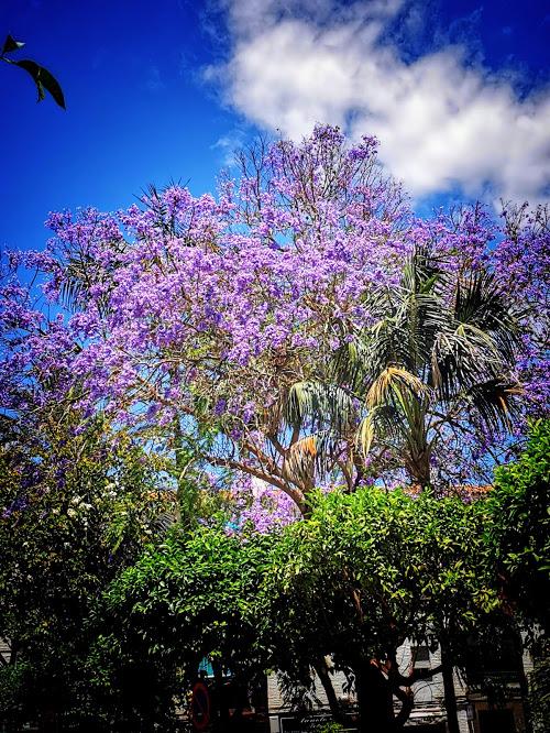 Mon arbre préféré, le jacaranda