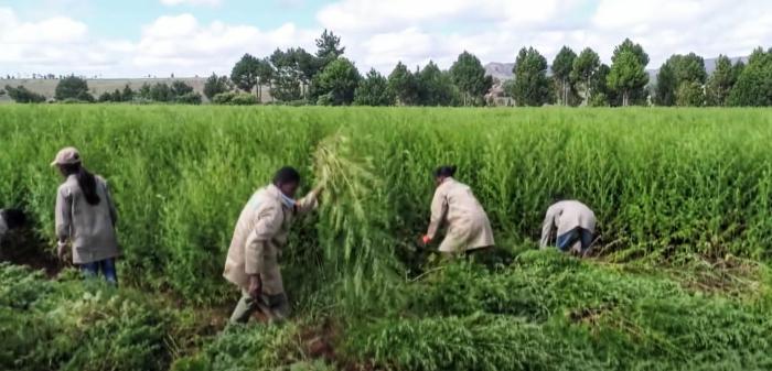 Un champ d'Artemisia, à Madagascar