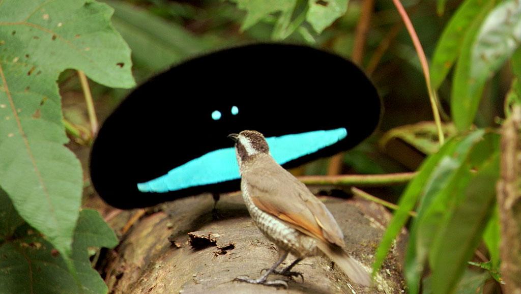 Les oiseaux du paradis