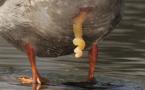 Le canard, ce serial lover