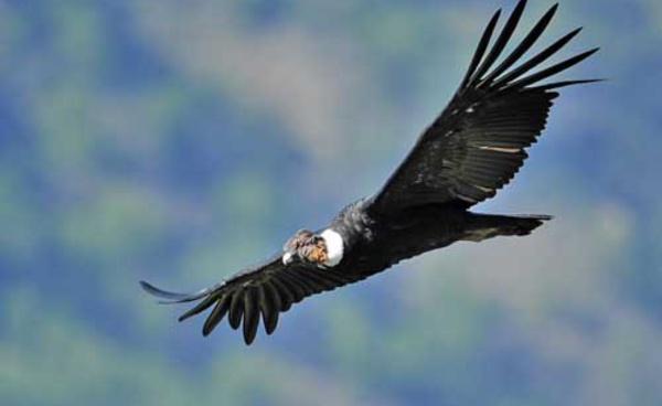 Le vol du condor...